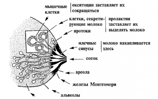 Потемневшие соски во время беременности