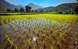 Как варить рисовую кашу для прикорма